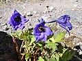 Delphinium caucasicum.jpg
