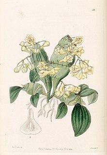 <i>Dendrobium compressum</i> Species of orchid