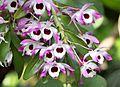 Dendrobium nobile (12863113224).jpg