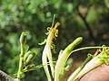 Dendrophthoe falcata var. falcata - Honey Suckle Mistletoe at Blathur 2017 (10).jpg