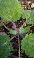Der Muskatellersalbei, lat. Salvia sclarea 07.jpg