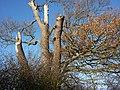 Detail of tree by Alton Lane - geograph.org.uk - 1602516.jpg