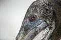 Detailed Pelican (7136997971).jpg