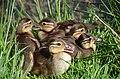 Detailshot frtom the 5 Mandarin duck chickens Schaarsbergen - panoramio.jpg