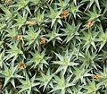 Deuterocohnia brevifolia 04 ies.jpg