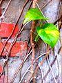 Devil's ivy in Nepal.jpg