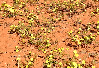 Kalahari Desert - Devil's thorn flower (Tribulus zeyheri) growing in the Kalahari Desert