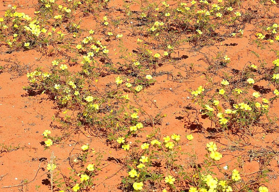 Devil's thorn flower (Tribulus zeyheri), Kalahari
