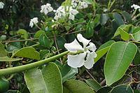 E. umbellatus