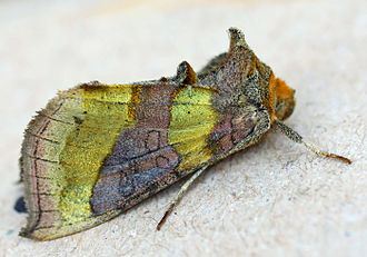 Diachrysia chrysitis - Image: Diachrysa chrysalis 01