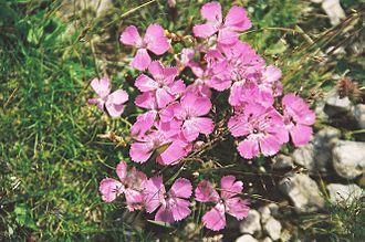 Dianthus - Dianthus alpinus