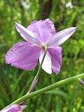 Dichopogon strictus flower1 SWS (15442058127).jpg