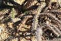 Didierea trollii 5zz.jpg