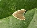 Diduga moth.jpg