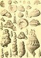 Die Gastropoden des karnischen Unterdevon (1907) (20735543019).jpg