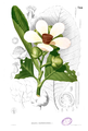 Dillenia reifferscheidia Blanco2.344.png