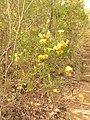 Dillwynia retorta (15568004647).jpg