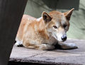 Dingo at West Australian Reptile Park.jpg