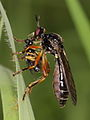 Dioctria rufipes ? (Asilidae) with prey - Rotbeinige Habichtsfliege mit Beute (7275180220).jpg