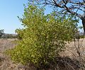 Dodonaea viscosa var angustifolia, habitus, c, Waterberg.jpg