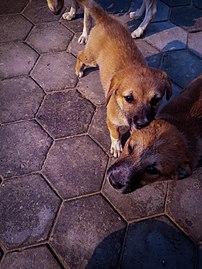 Dogs at patan.jpg