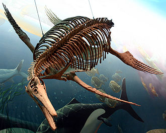 Plesiosauroidea - Dolichorhynchops, a short-necked, long-jawed plesiosauroid, National Museum of Natural History, Washington D.C., USA.