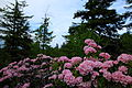 Dolly sods mountain flowers-pub14 - West Virginia - ForestWander.jpg
