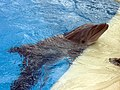 Dolphin Training (7980929731).jpg