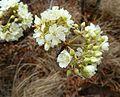 Dombeya rotundifolia, blomme, Little Eden.jpg
