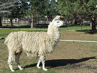 Llama - A domestic llama