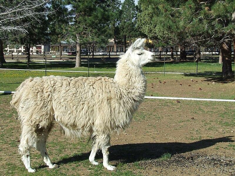File:Domestic llama (2009-05-19).jpg