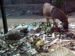 Donkey and waste in Chinawal.jpg