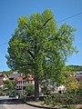Dorflinde in Windheim, 1.jpg