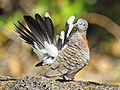 Dove, Zebra RWDr.jpg