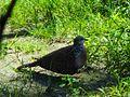 Dove seen quite commonly in Assam.jpg