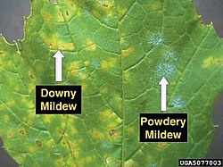 Downy and Powdery mildew on grape leaf.JPG