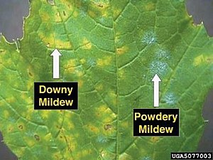 Downy mildew - Example of Downy mildew (left) along with powdery mildew on a grape leaf