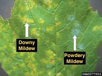 Powdery mildew - Example of powdery mildew (right) along with Downy mildew on a grape leaf