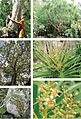 Dracaena kaweesakii photo set.jpg