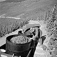 Druivendrager leegt zijn oogstkuip, Bestanddeelnr 254-4168.jpg
