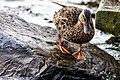 Duck (43168260014).jpg