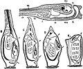 EB1911 Tunicata - Metamorphosis of an Ascidian.jpg