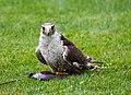 Eagle (127836247).jpeg