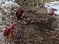 Eastern Skunk Cabbage Takemori Koshu-City C.JPG