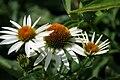 Echinacea purpurea Cygnet White 1zz.jpg