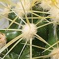 Echinocactus grusonii-IMG 4707.JPG