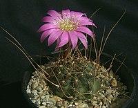 Echinopsis backebergii3PAKAL
