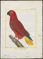 Eclectus roratus - 1700-1880 - Print - Iconographia Zoologica - Special Collections University of Amsterdam - UBA01 IZ18500247.tif