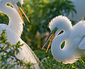 Egrets-rim-lighting.jpg