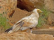 Egyptian vulture in Jerusalem zoo.jpg